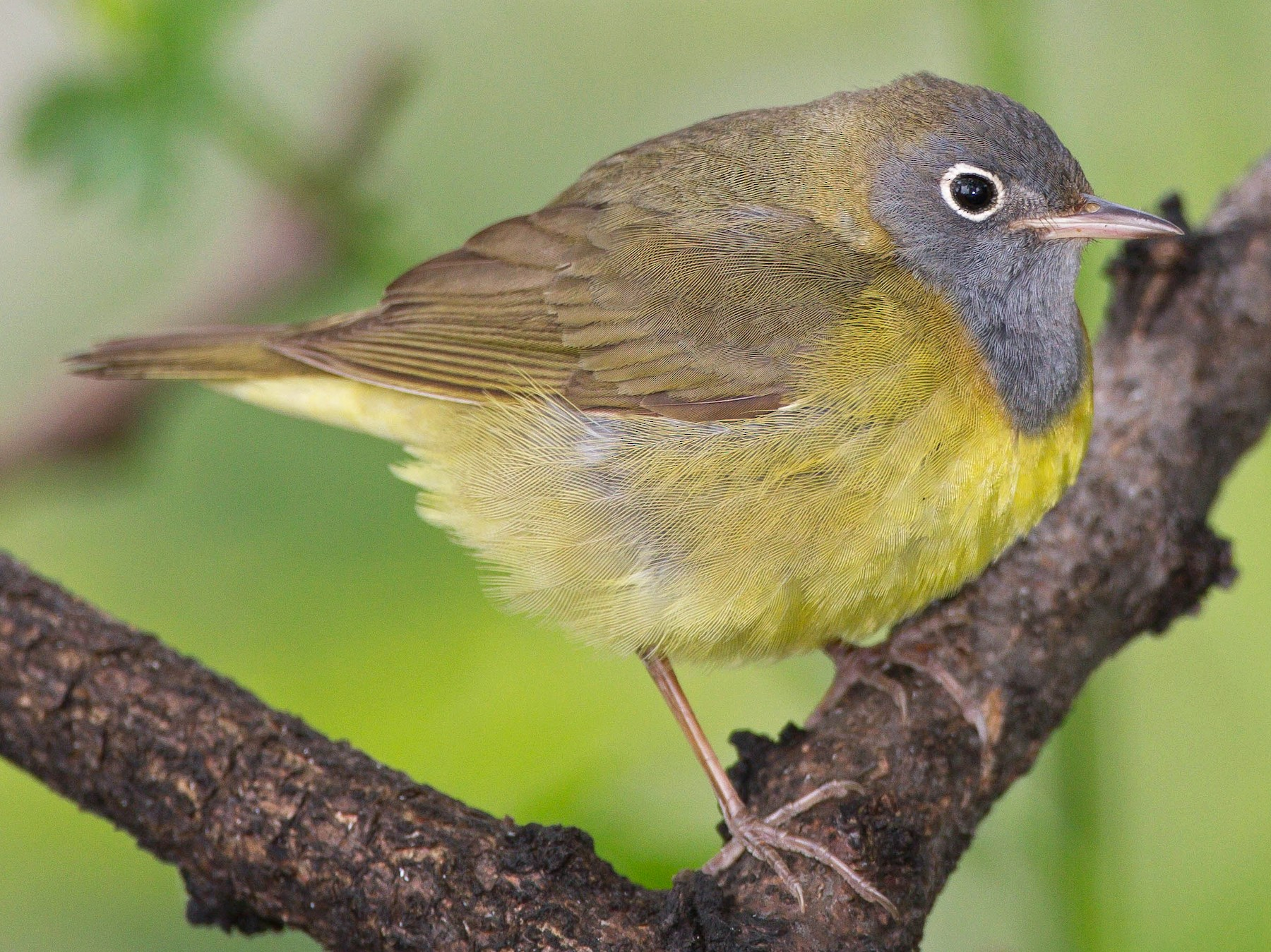 Connecticut Warbler - Jim Hully