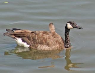 Canada Goose, ML171411721