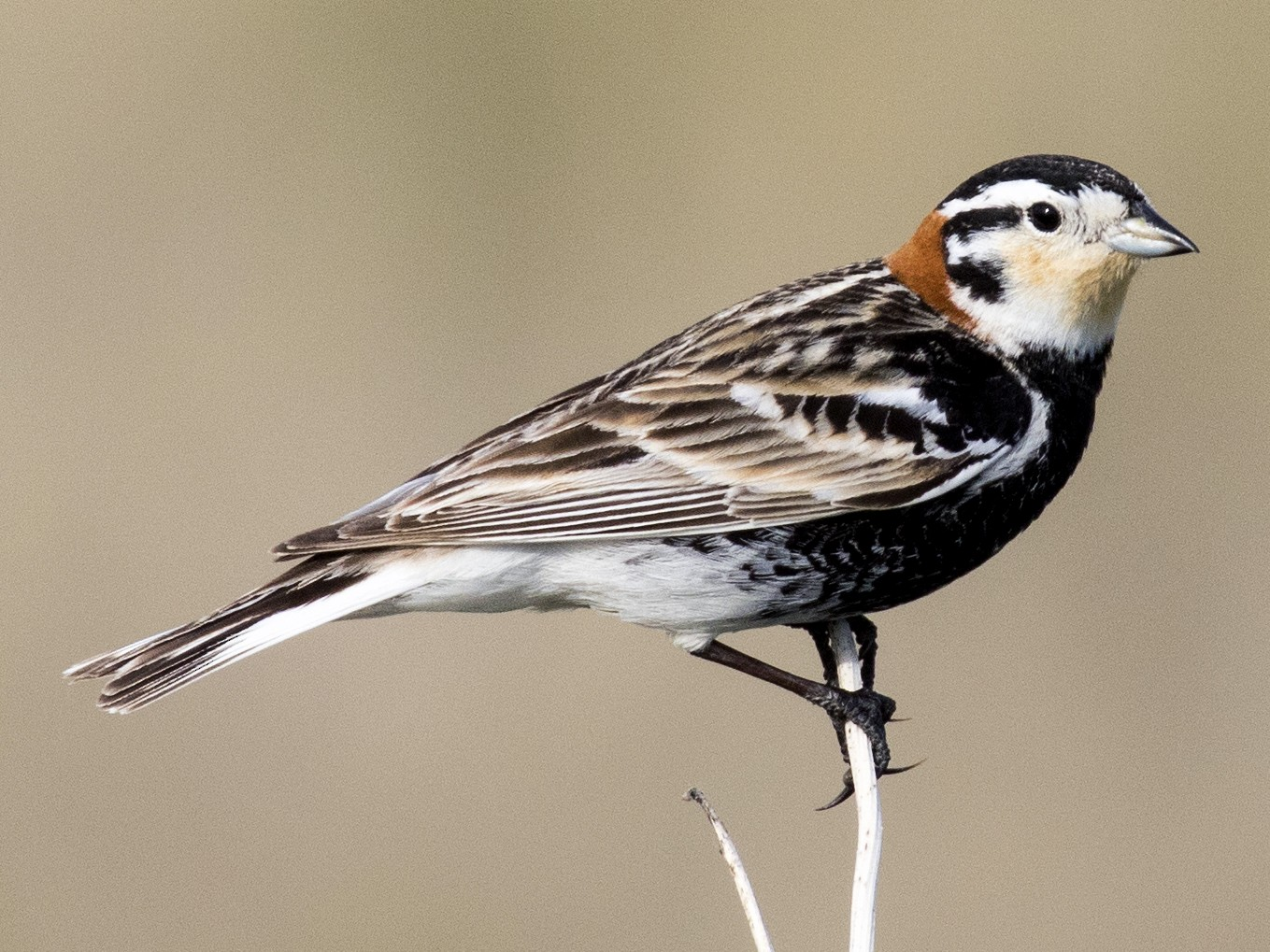 Chestnut-collared Longspur - Bob Martinka