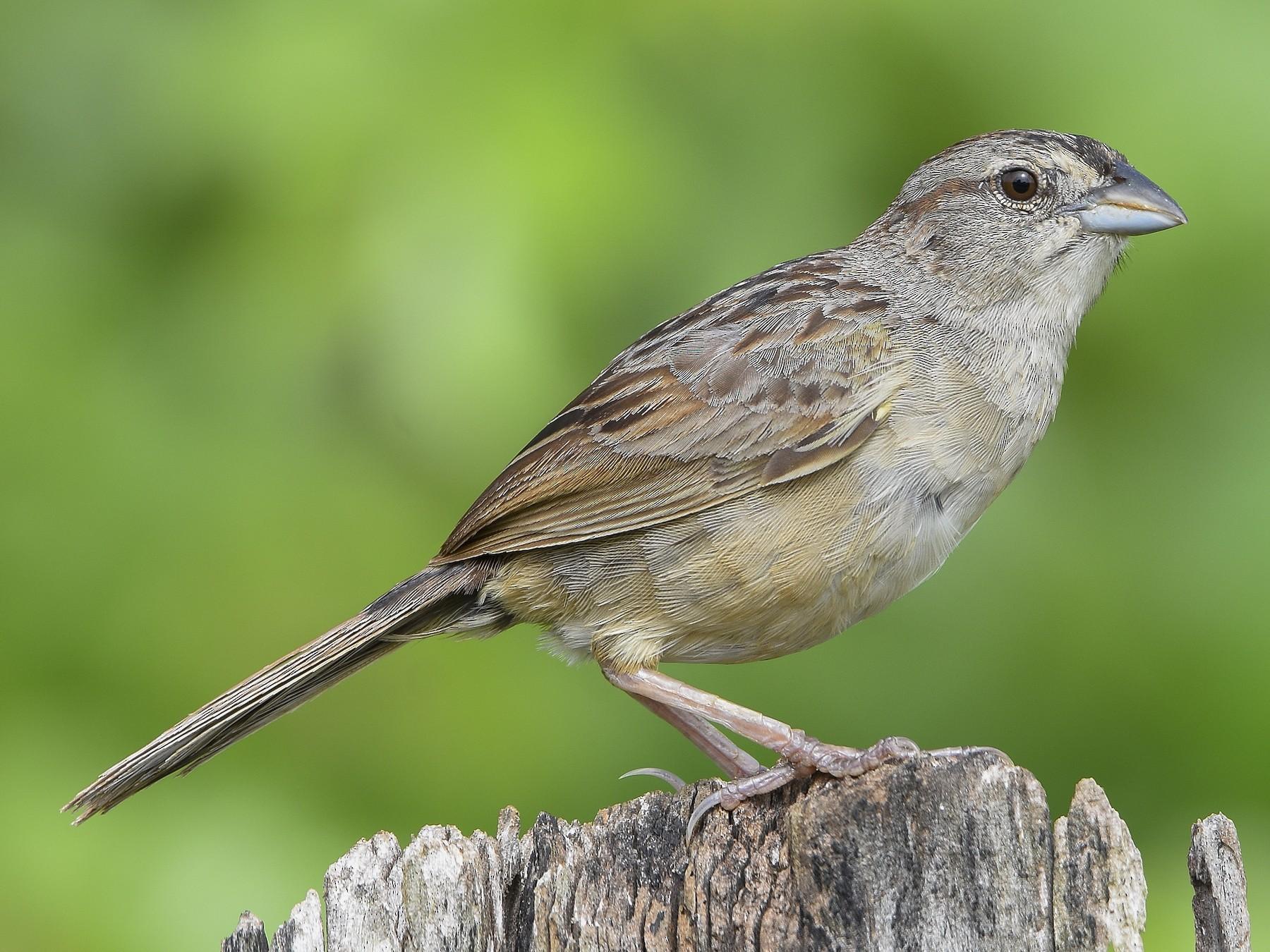 Botteri's Sparrow - Carlos Echeverría