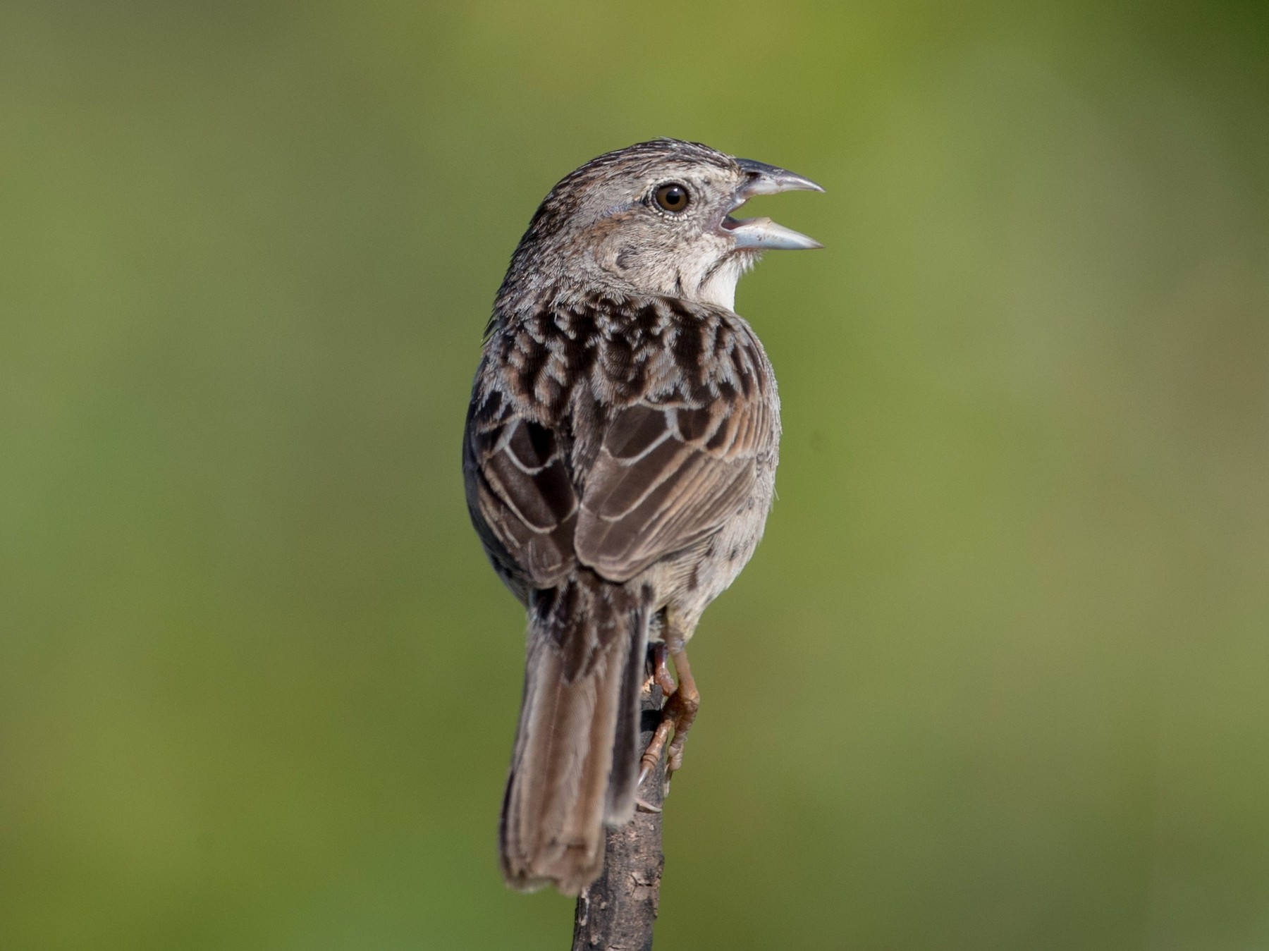 Botteri's Sparrow - Ian Davies