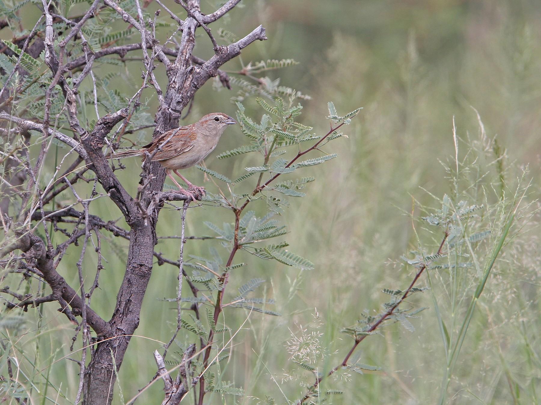 Botteri's Sparrow - Christoph Moning