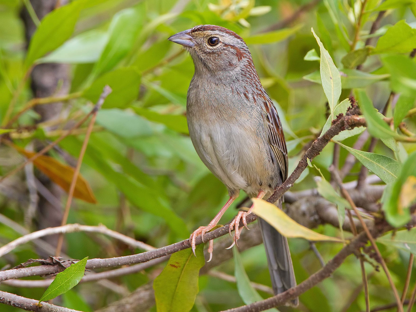 Bachman's Sparrow - Anonymous eBirder