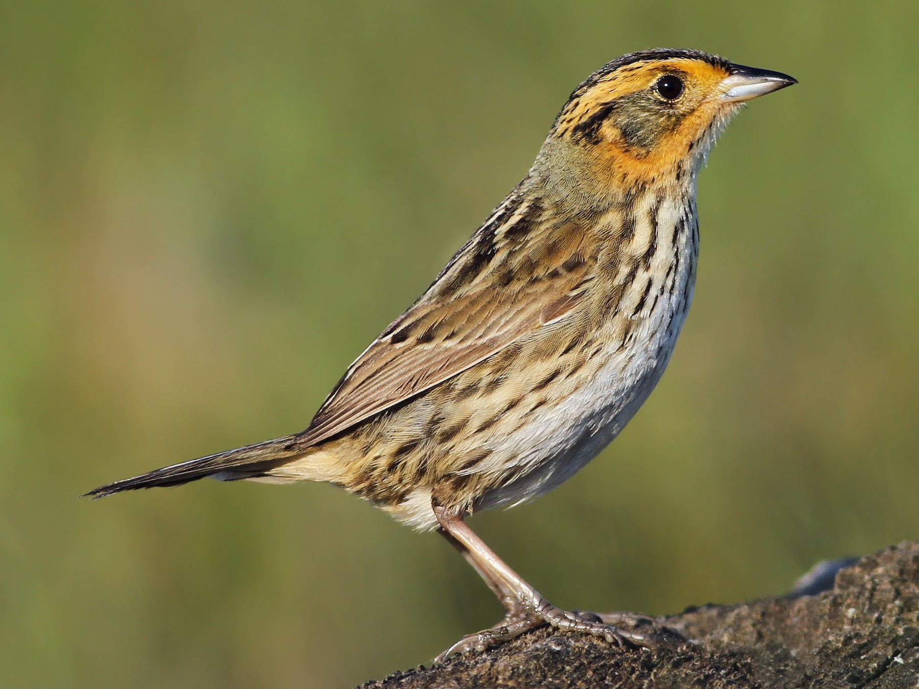 Saltmarsh Sparrow - Evan Lipton