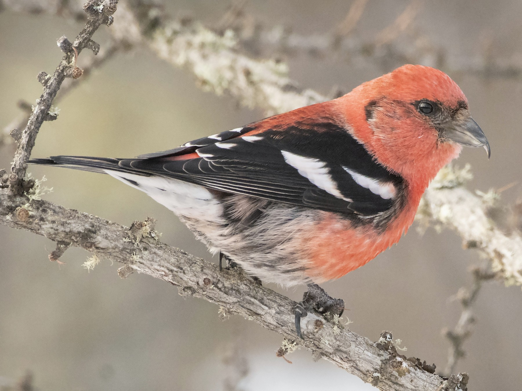 White-winged Crossbill - Bryan Calk