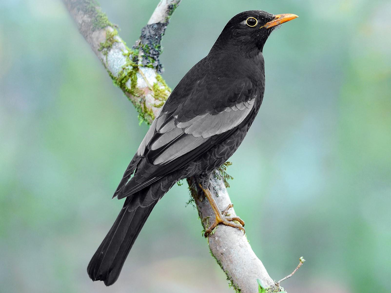 Gray-winged Blackbird - eBird