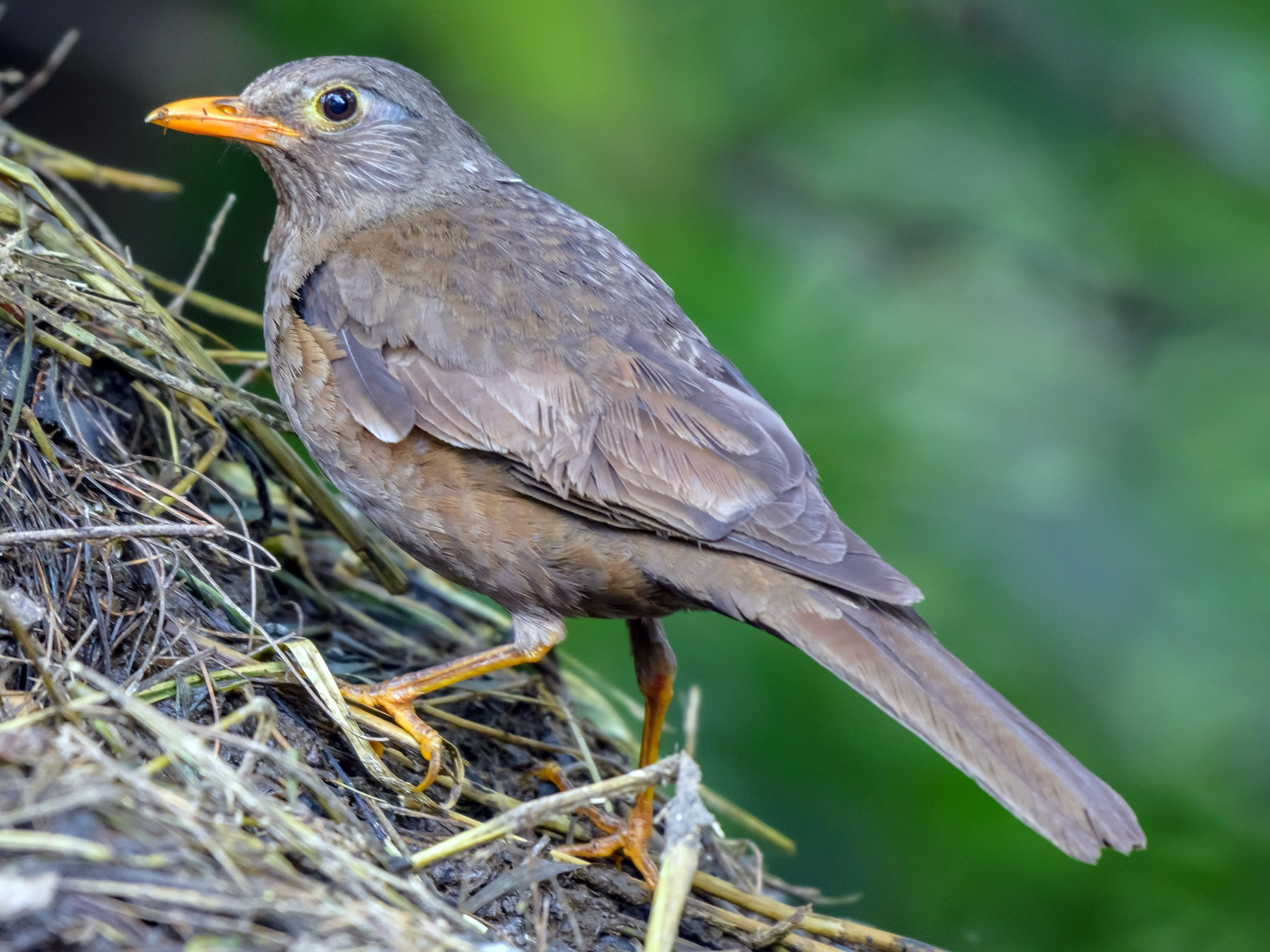 Gray-winged Blackbird - Balaji P B