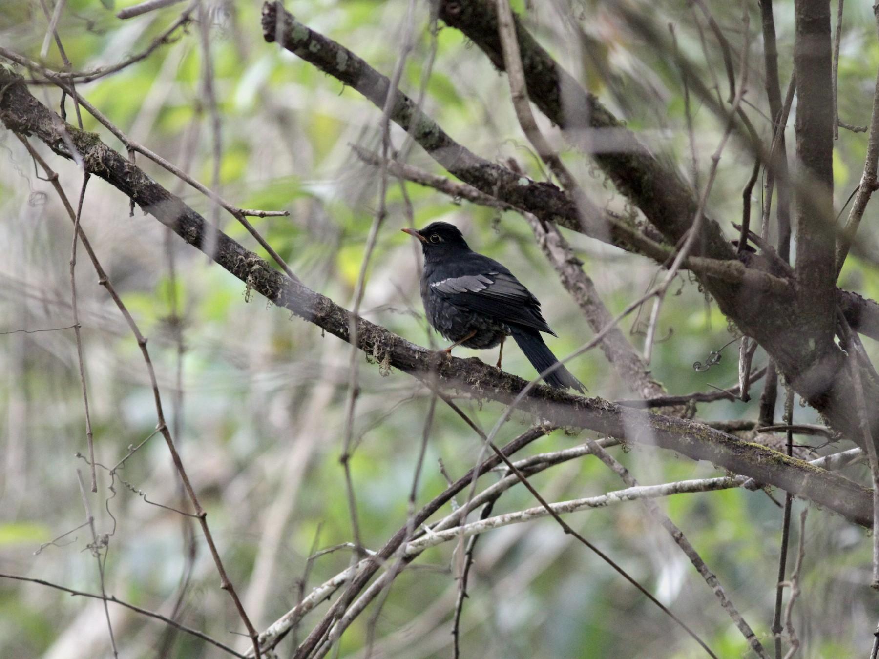 Gray-winged Blackbird - Andrew Pierce