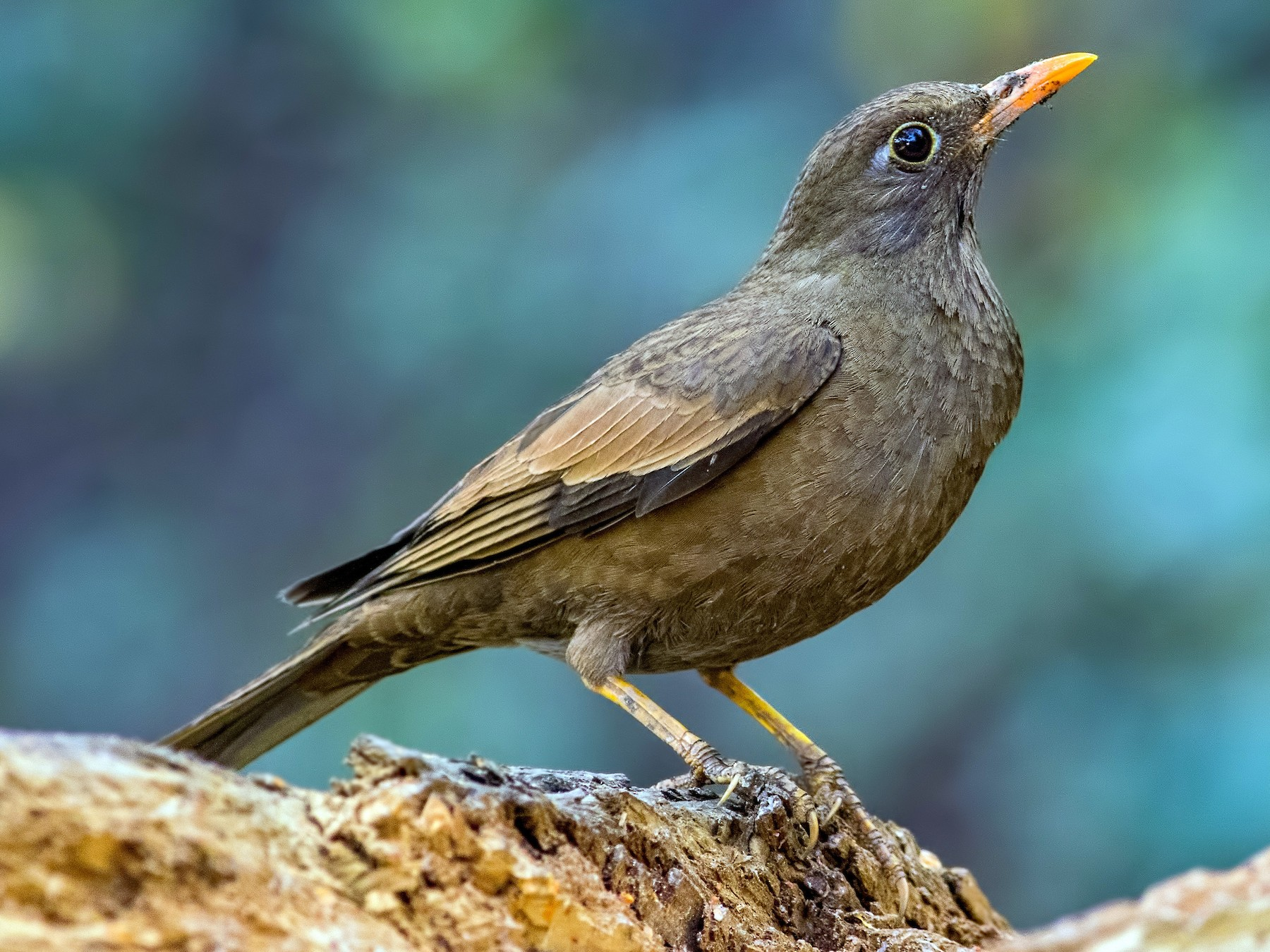 Gray-winged Blackbird - Kavi Nanda