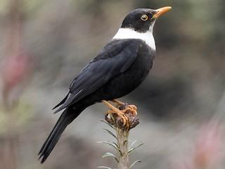 - White-collared Blackbird