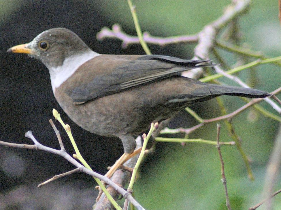 White-collared Blackbird - Ramnarayan K