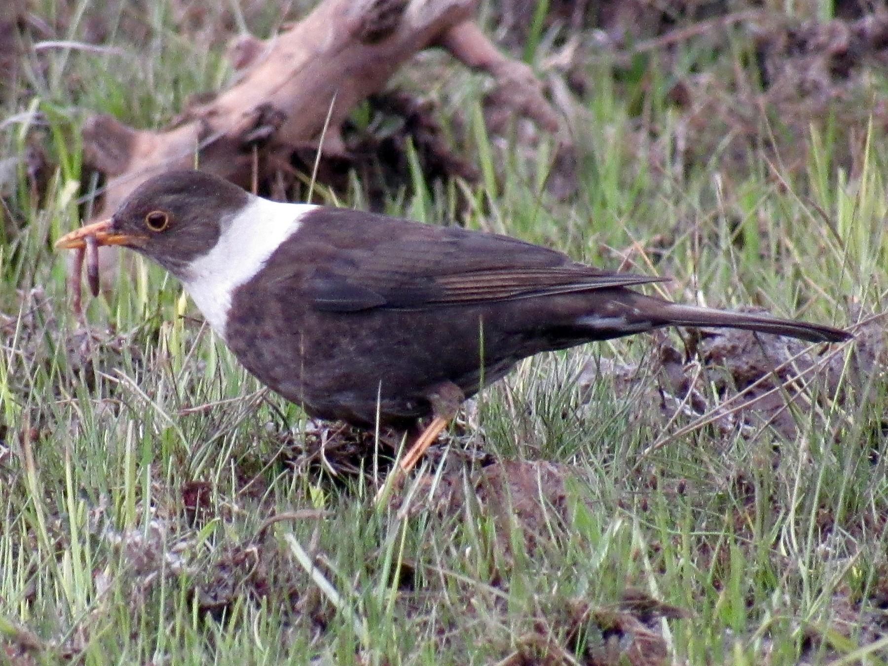 White-collared Blackbird - karen pinckard
