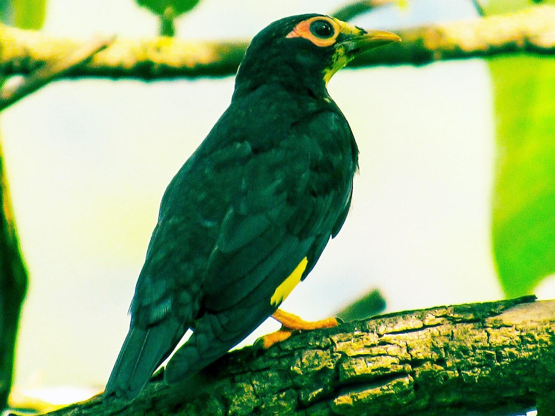 Golden-crested Myna - Pritam Dey