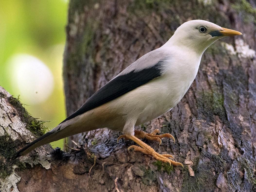 White-headed Starling - Saurabh Sawant