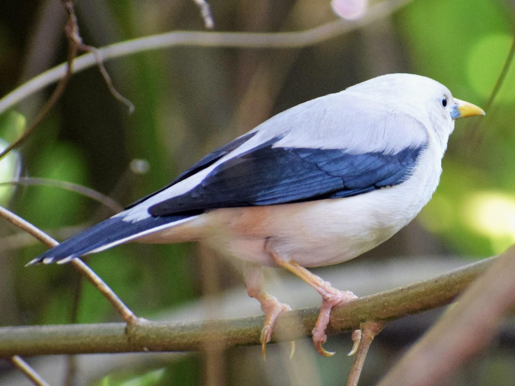 White-headed Starling - SANJEEV NALAVADE