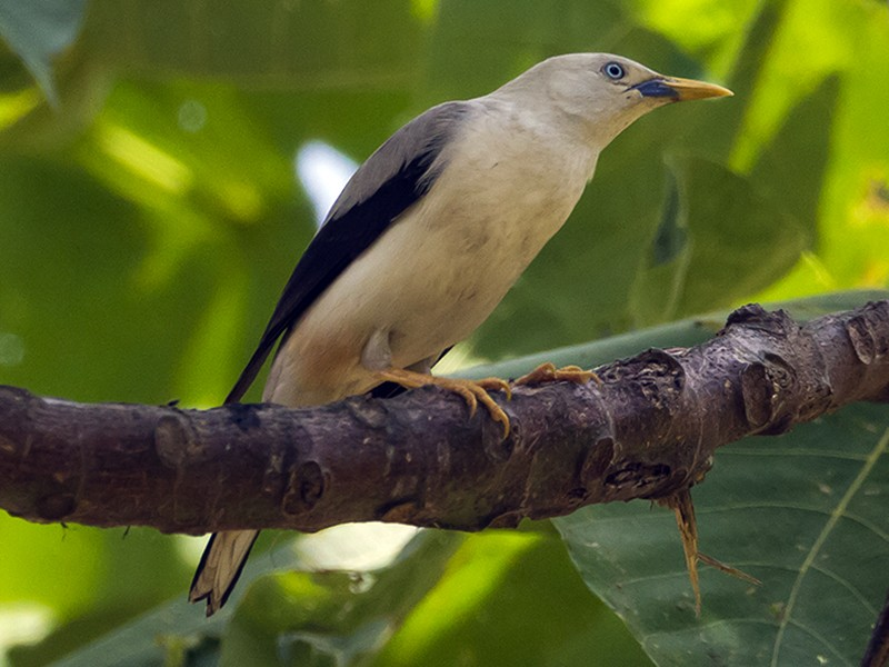 White-headed Starling - Soar Excursions