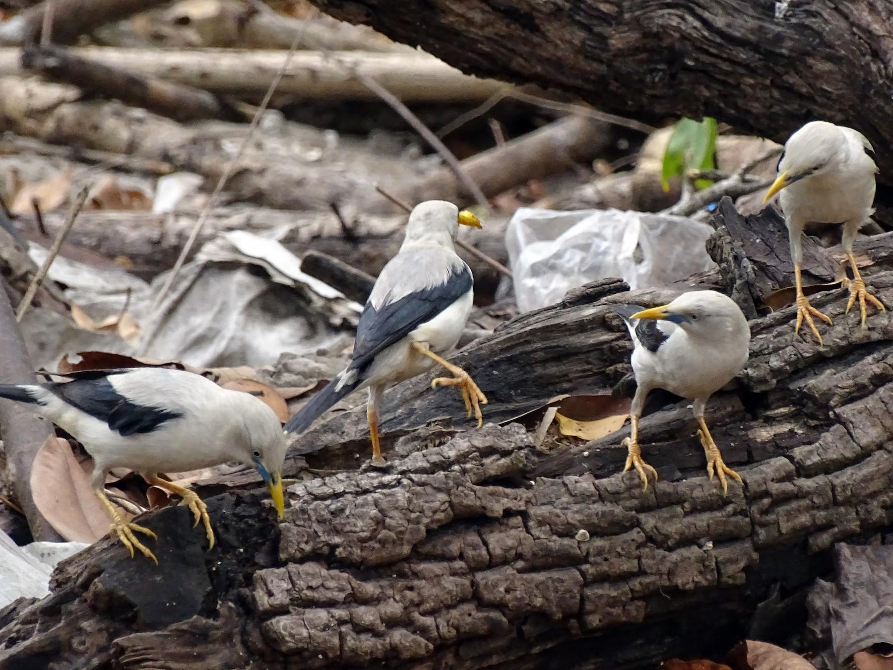 White-headed Starling - Yuvan Aves
