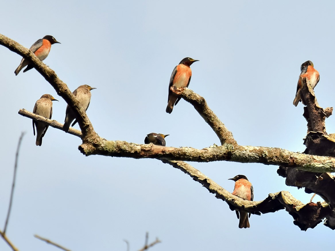 Spot-winged Starling - Pattaraporn Vangtal