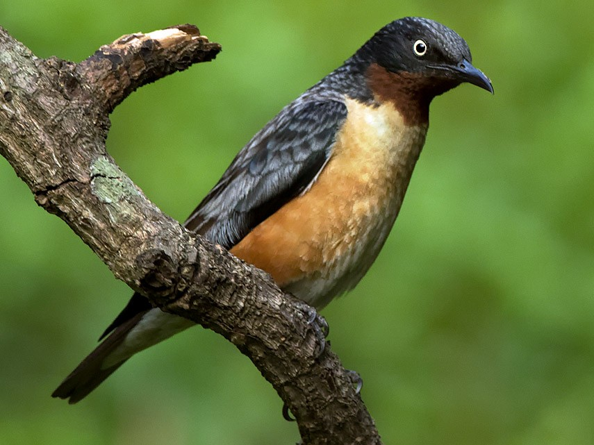 Spot-winged Starling - Subramanya C K