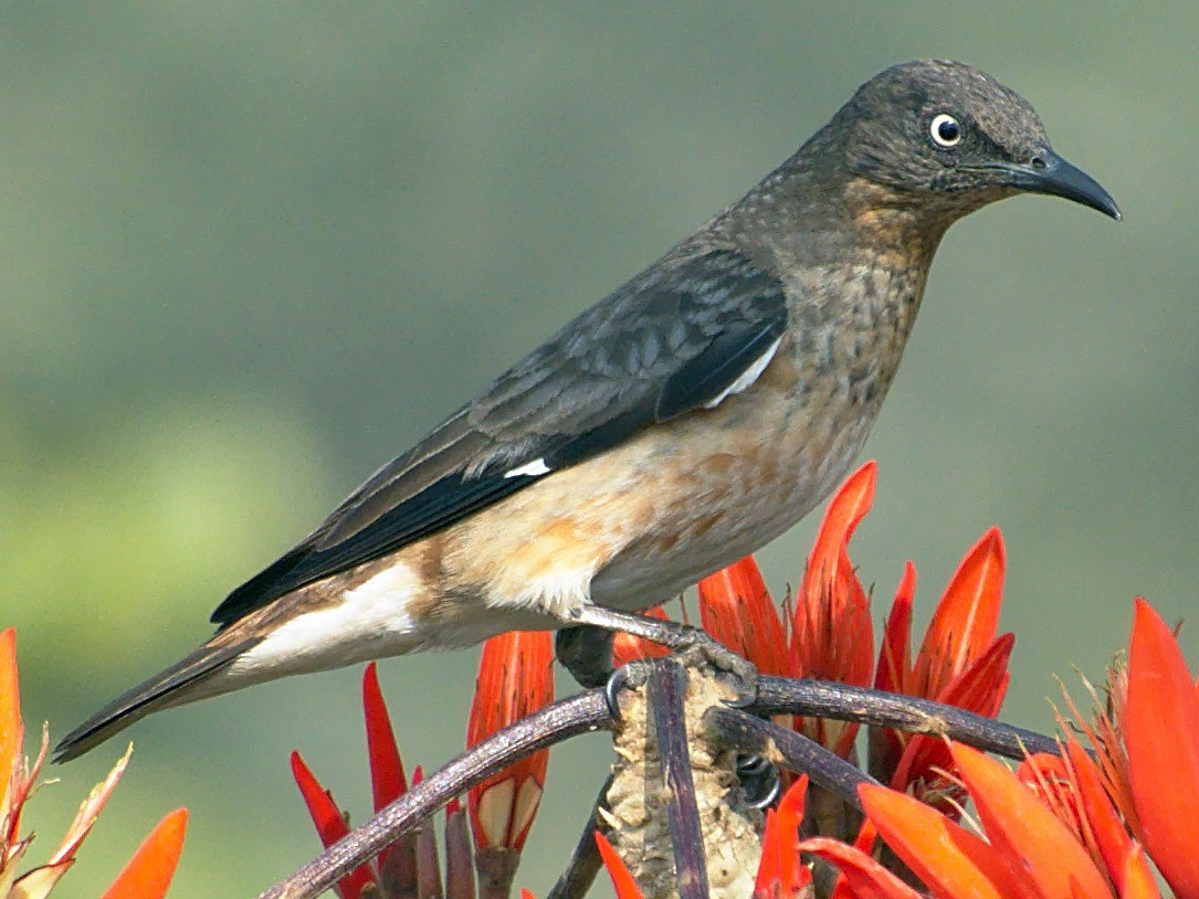 Spot-winged Starling - Abdul Mazid Shah