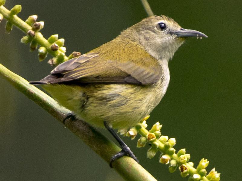 Andaman Flowerpecker - Saurabh Sawant