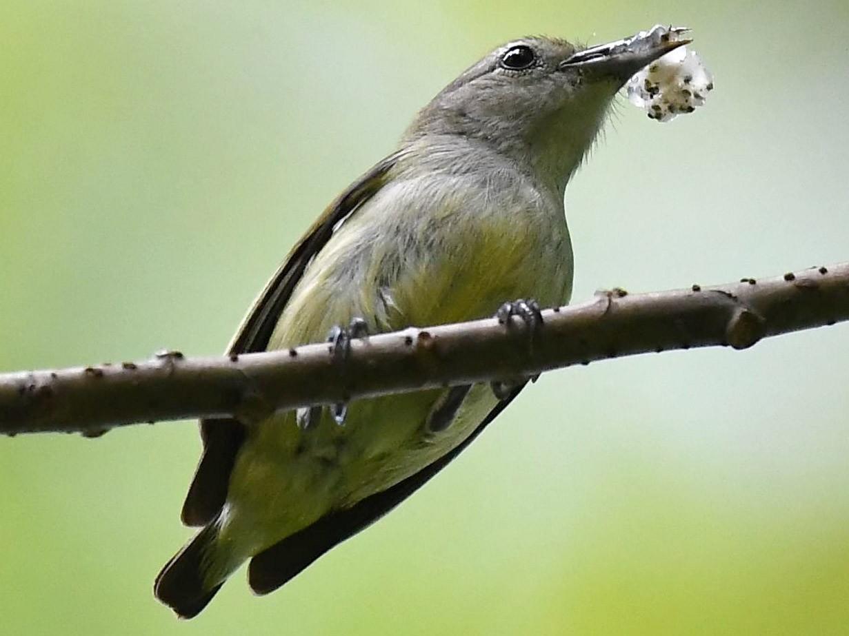 Andaman Flowerpecker - Sriram Reddy