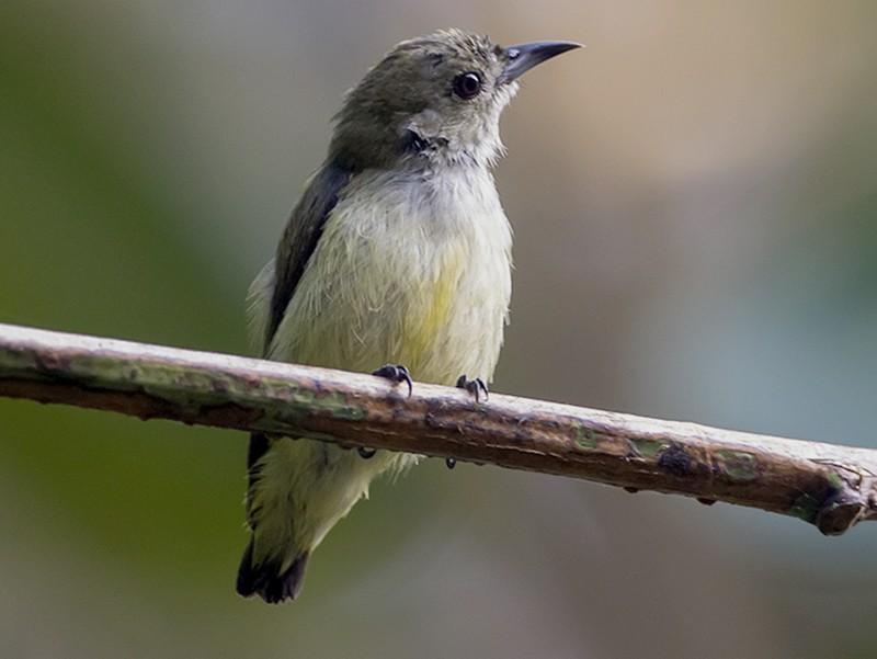 Andaman Flowerpecker - Soar Excursions