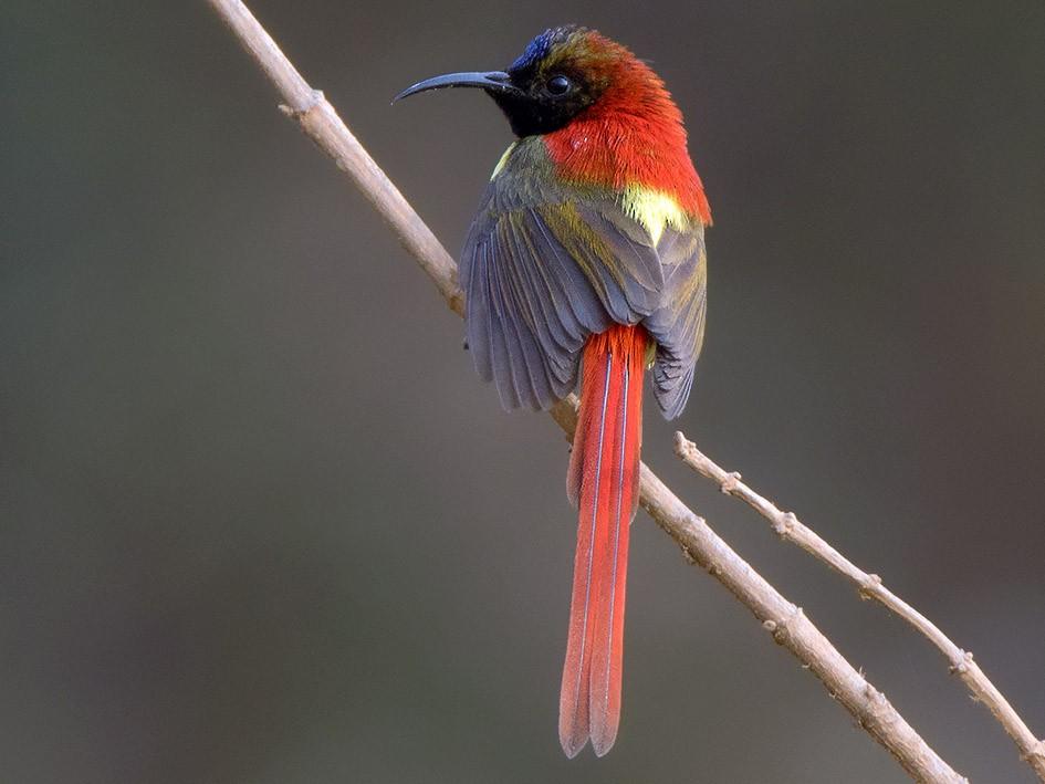 Fire-tailed Sunbird - Ayuwat Jearwattanakanok