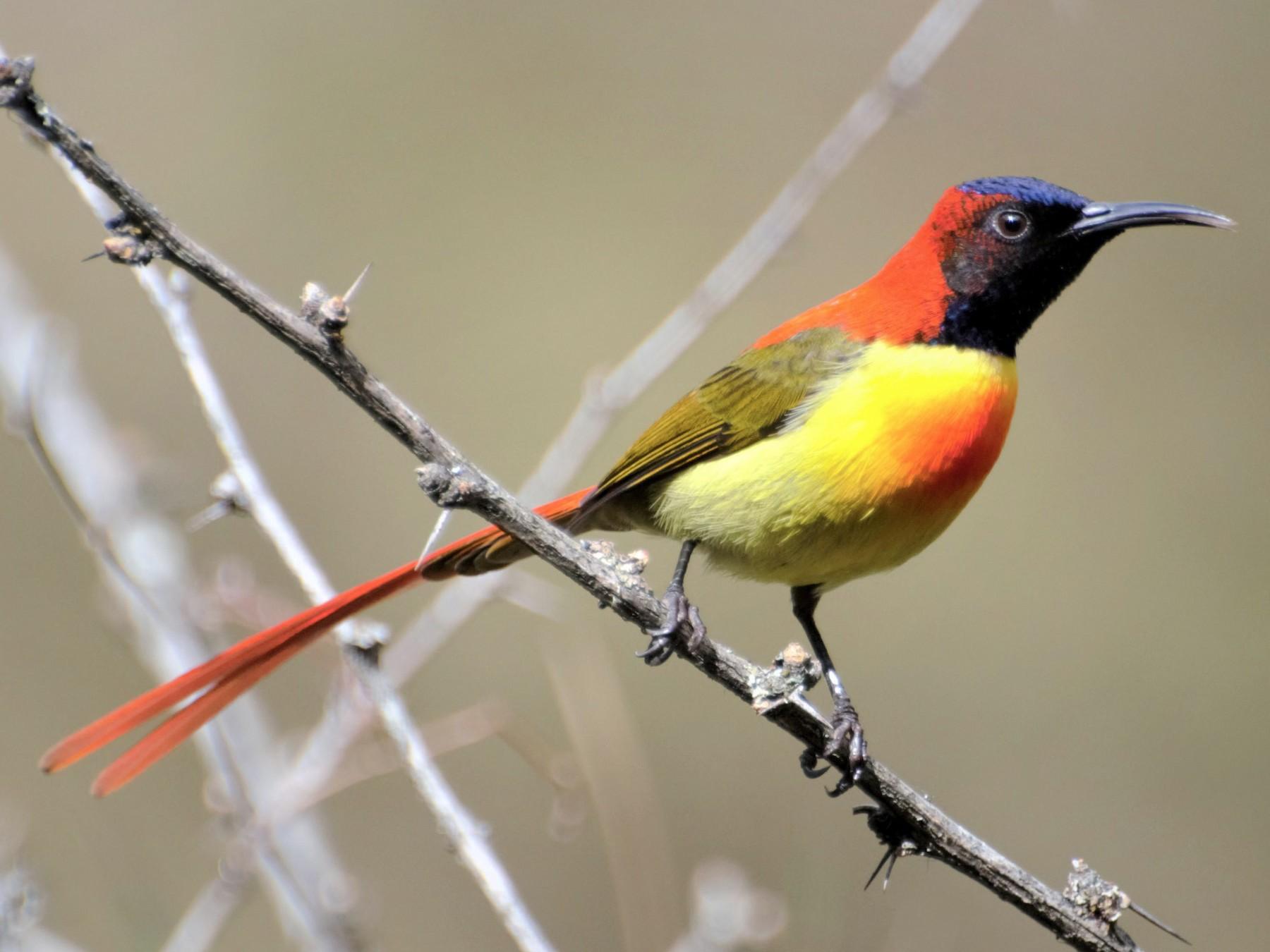 Fire-tailed Sunbird - Hathan Chaudhary
