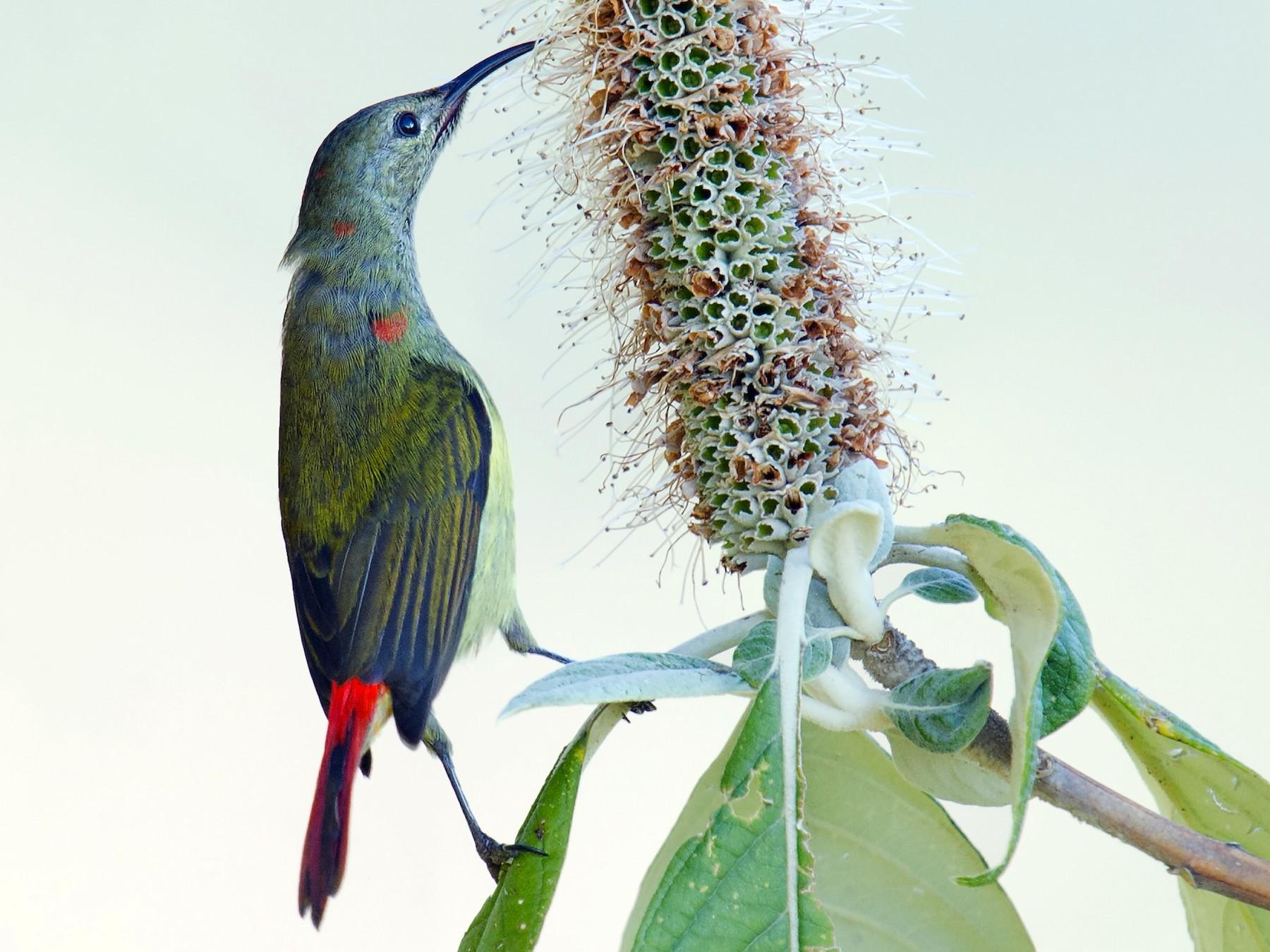Fire-tailed Sunbird - Craig Brelsford
