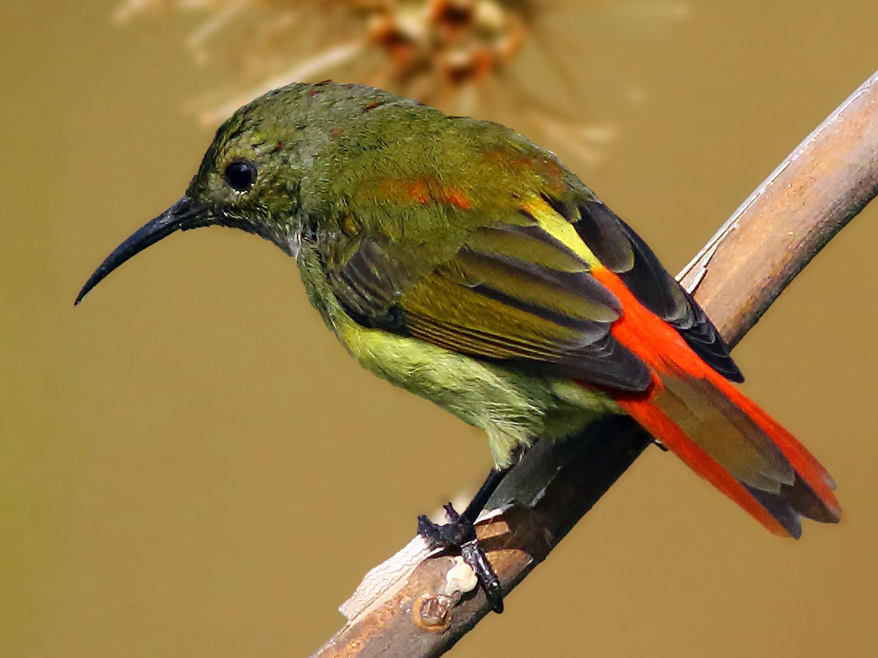 Fire-tailed Sunbird - Amitava Ganguly