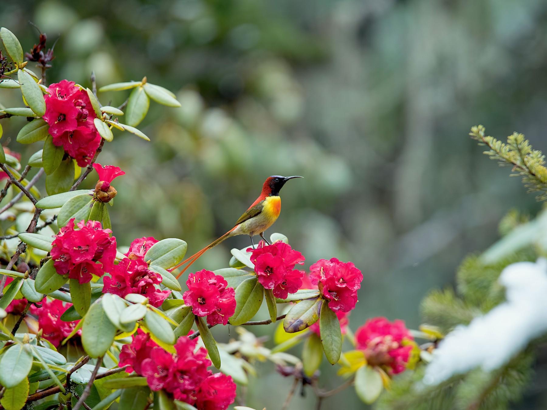 Fire-tailed Sunbird - Shailesh Pinto