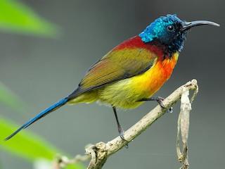 - Green-tailed Sunbird (Doi Inthanon)
