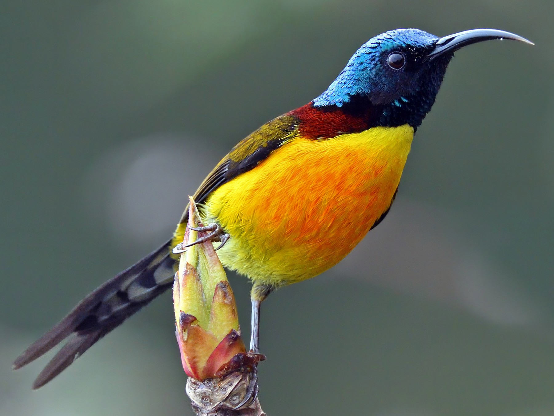 Green-tailed Sunbird - Sriram Reddy