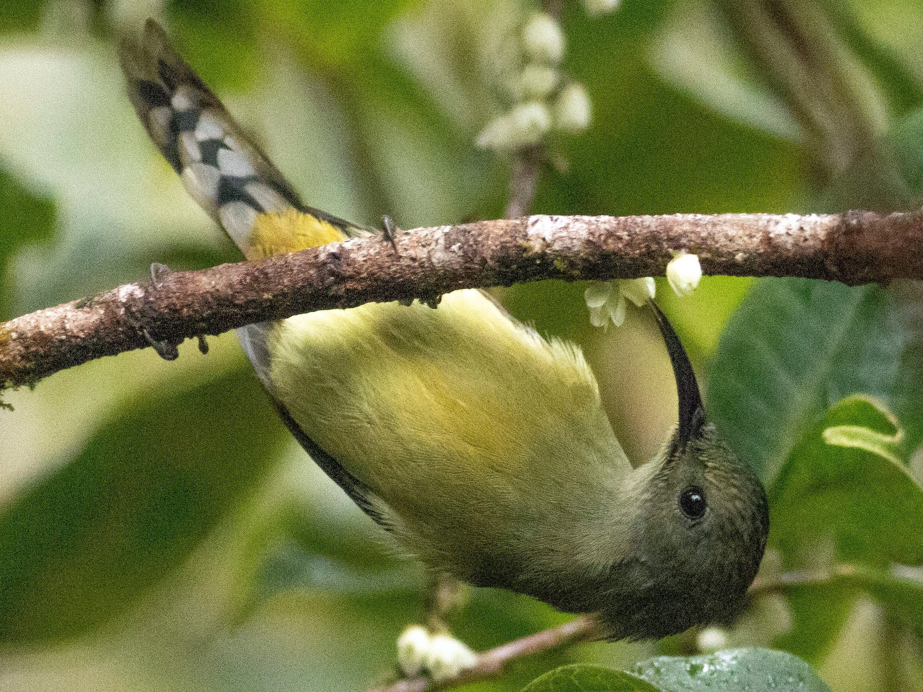 Green-tailed Sunbird - Paul Fenwick