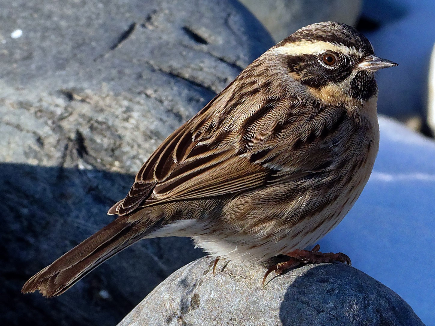 Black-throated Accentor - Vincent Wang