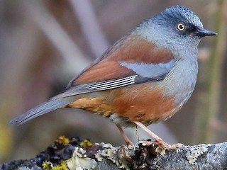 - Maroon-backed Accentor