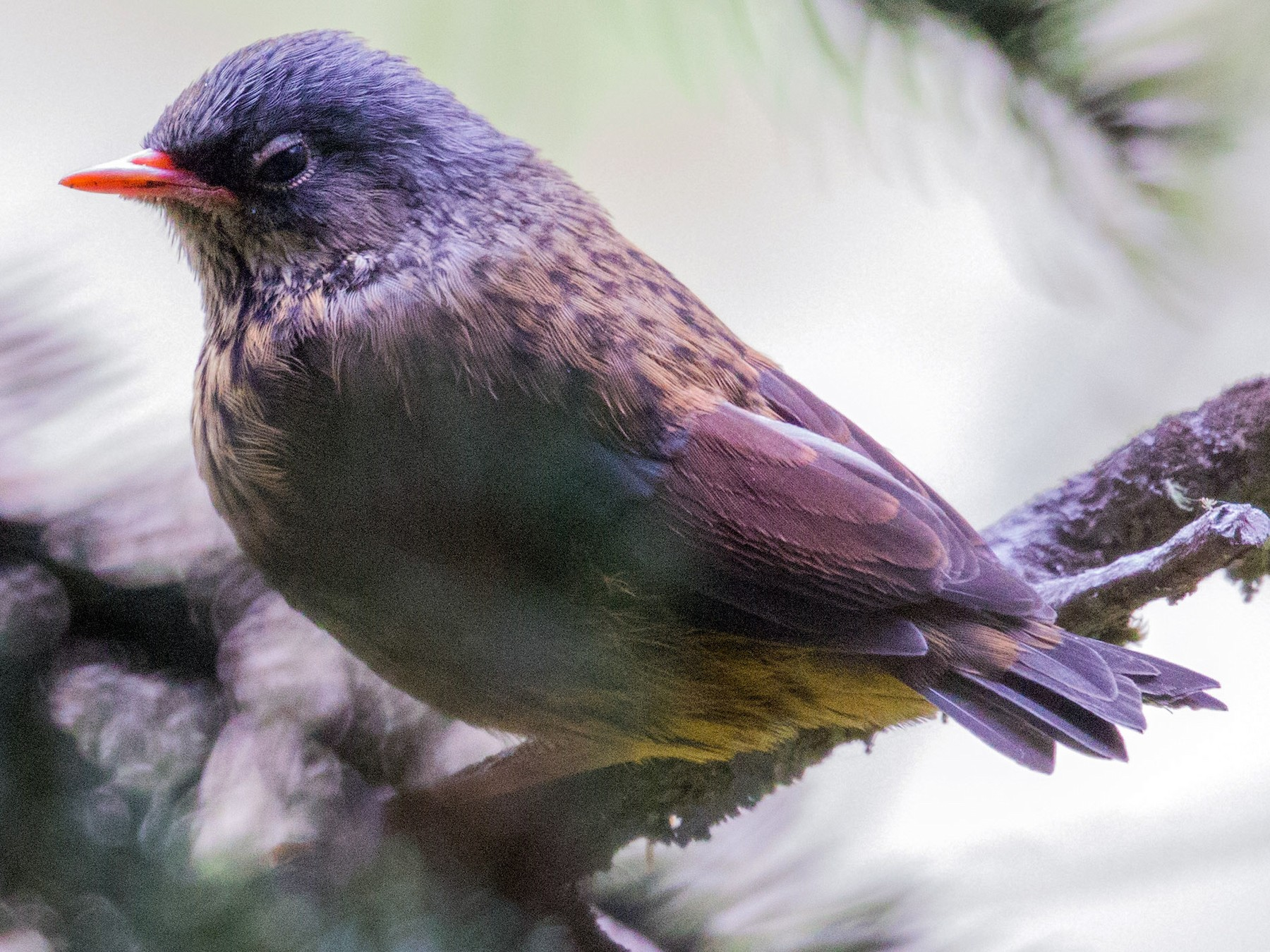 Maroon-backed Accentor - Chen Xier