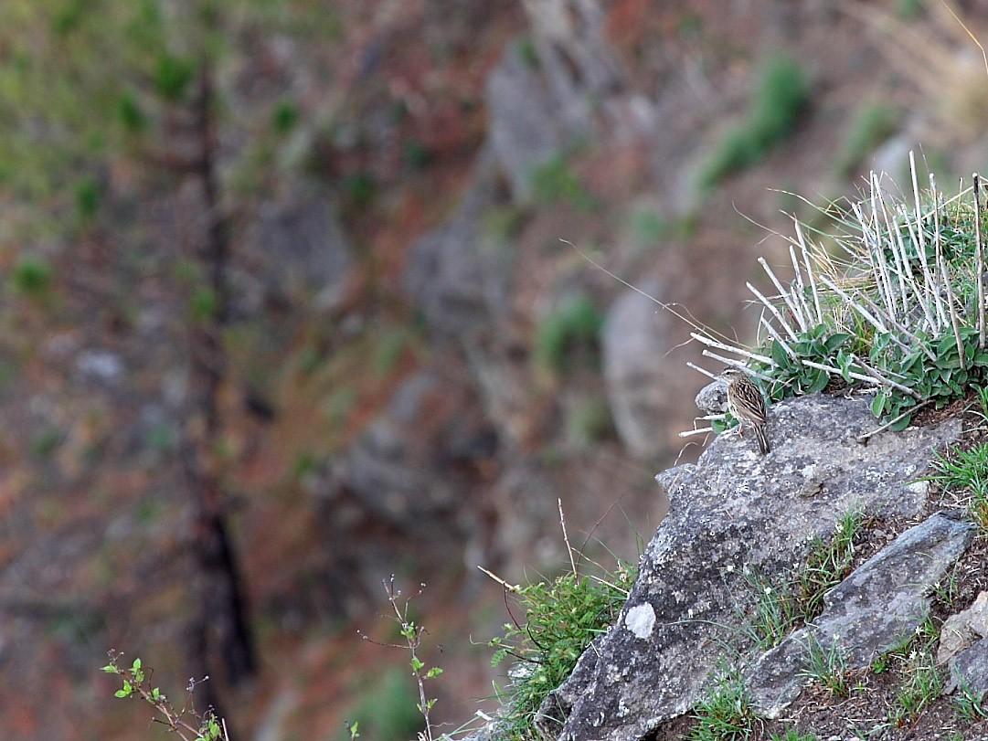 Upland Pipit - Gopi Sundar