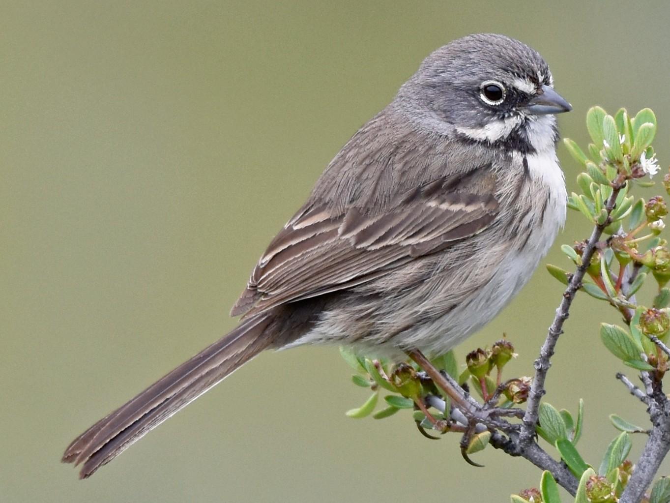 Bell's Sparrow - George Gibbs