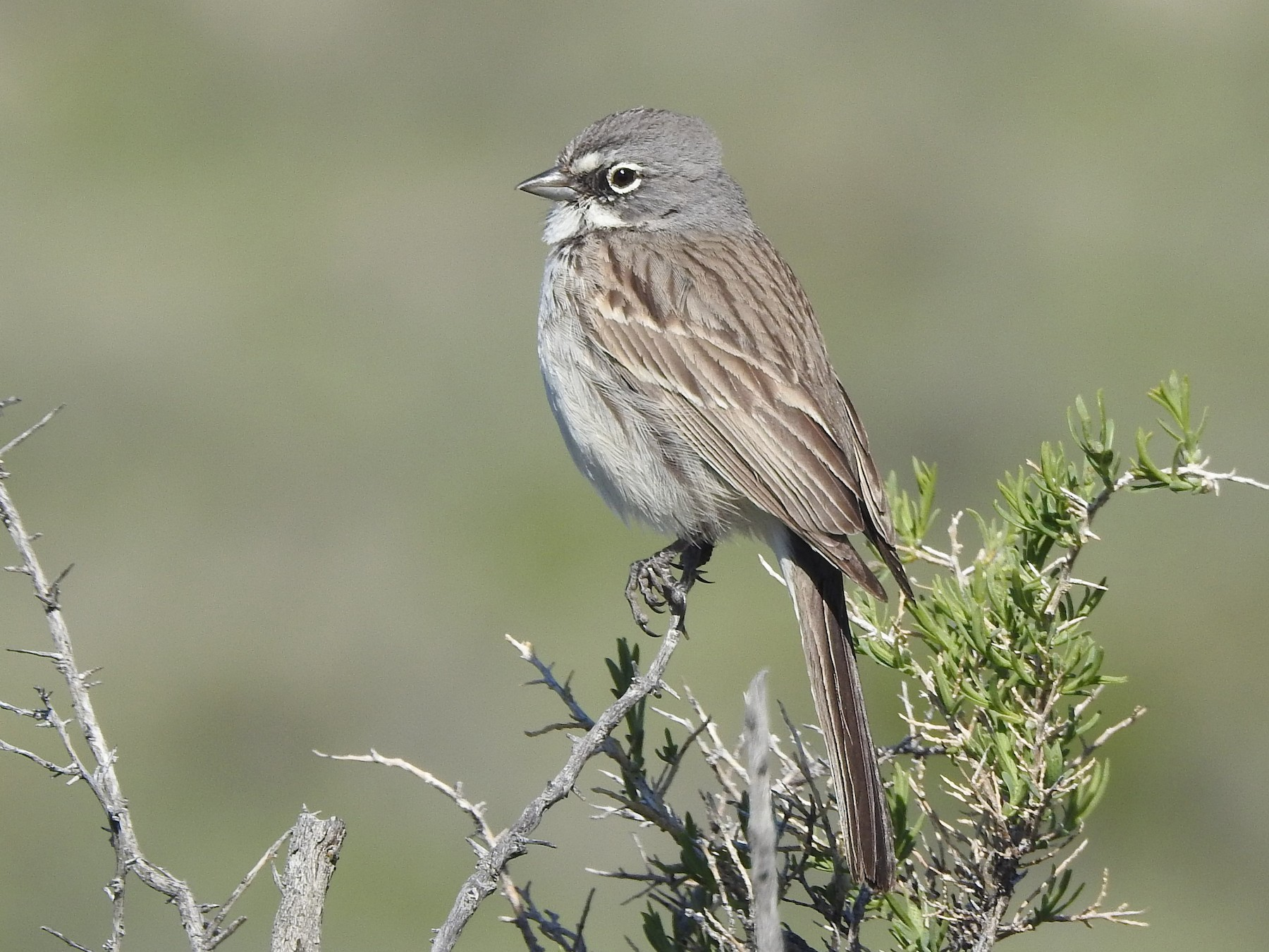 Sagebrush Sparrow - Mary Rumple