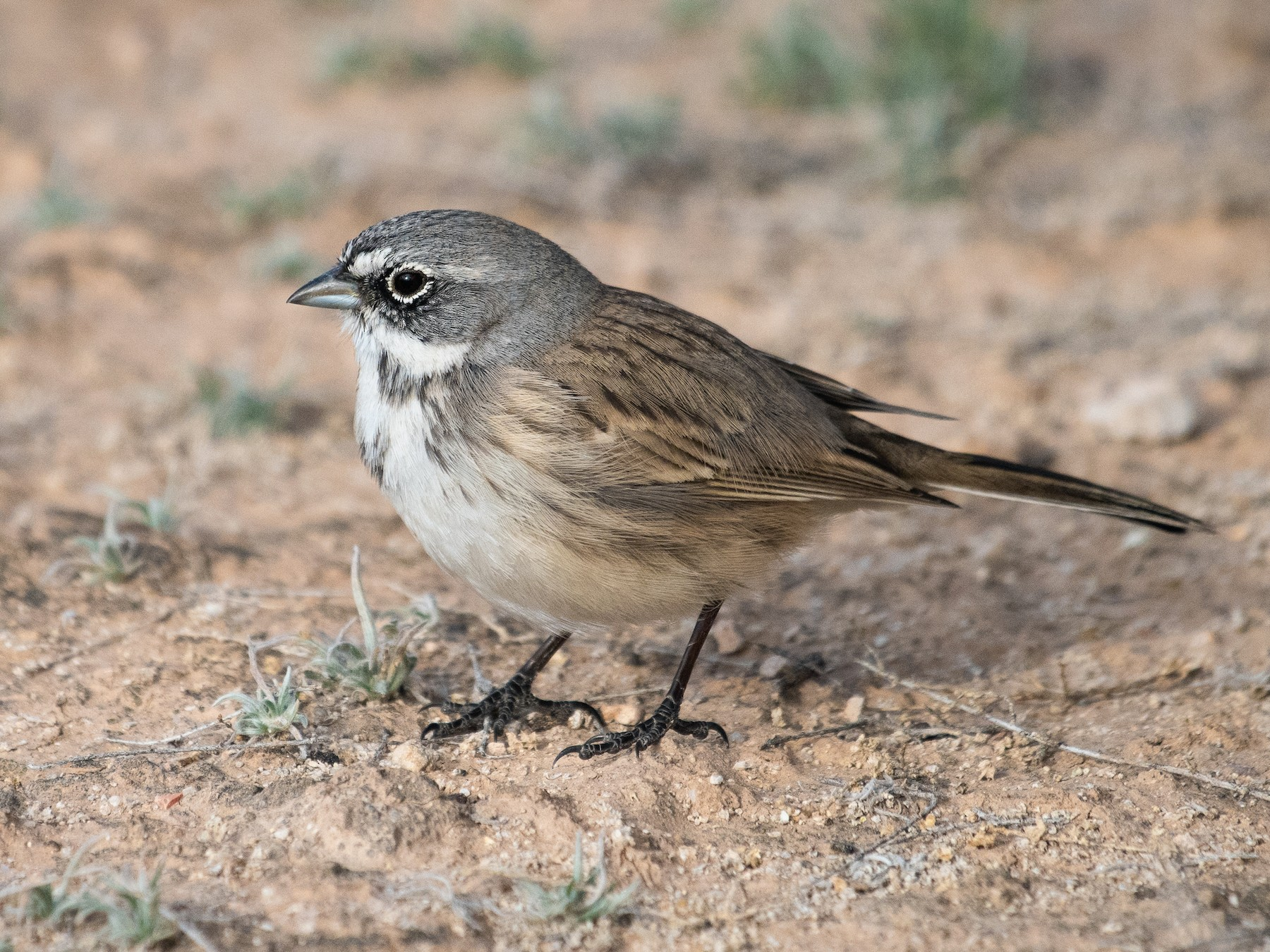 Sagebrush Sparrow - Adam Jackson