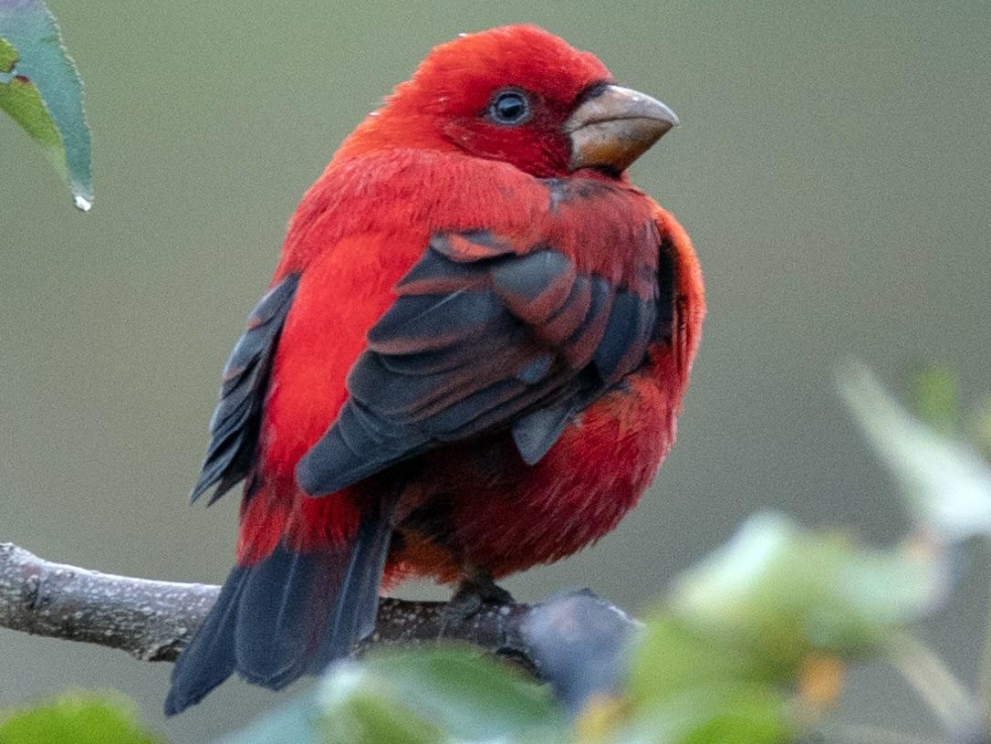 Scarlet Finch - Deepak Mittu