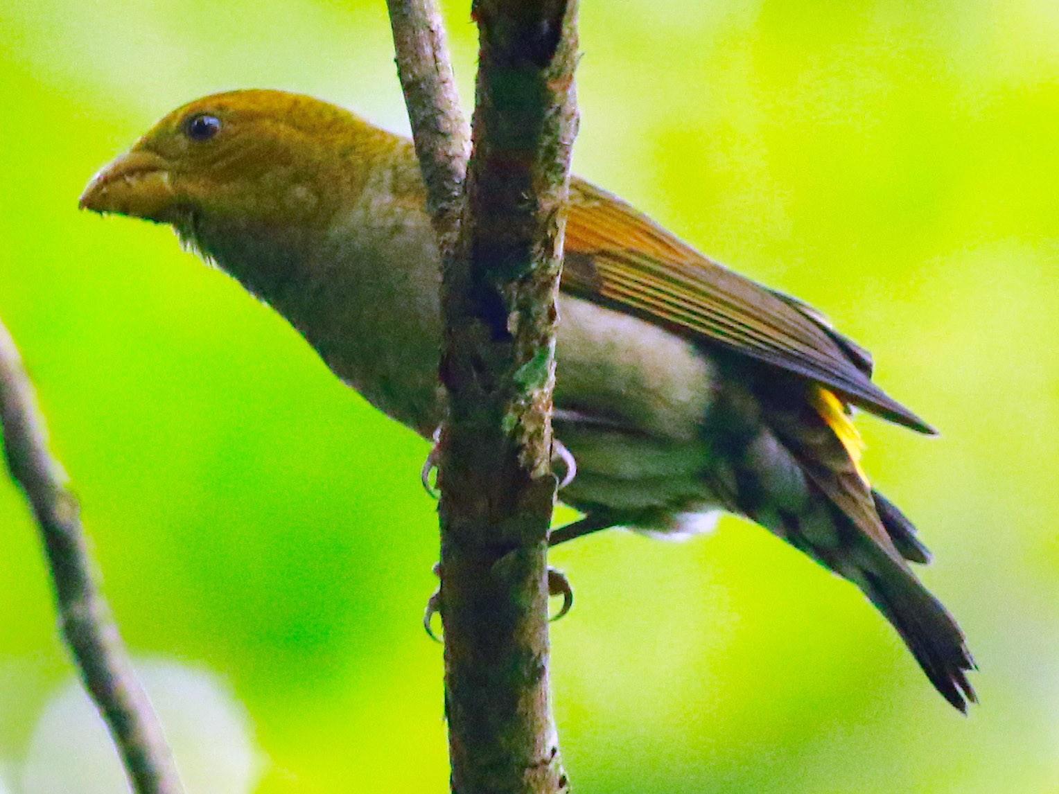 Scarlet Finch - Sudhir Herle