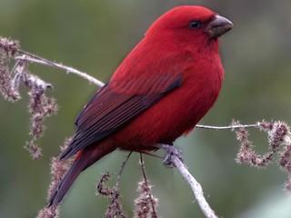 - Scarlet Finch