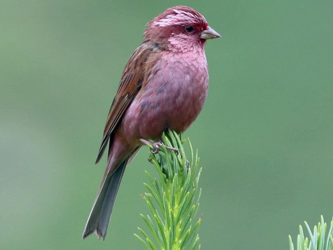 Pink-browed Rosefinch - Suresh  Rana