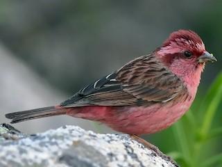 - Pink-browed Rosefinch