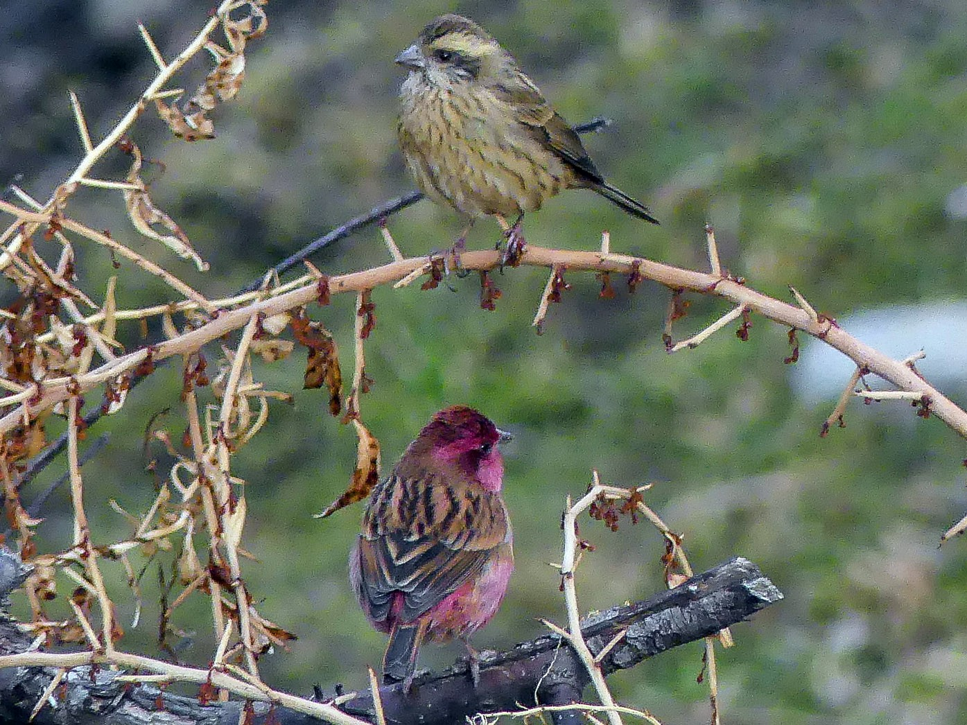 Pink-browed Rosefinch - Mike Prince