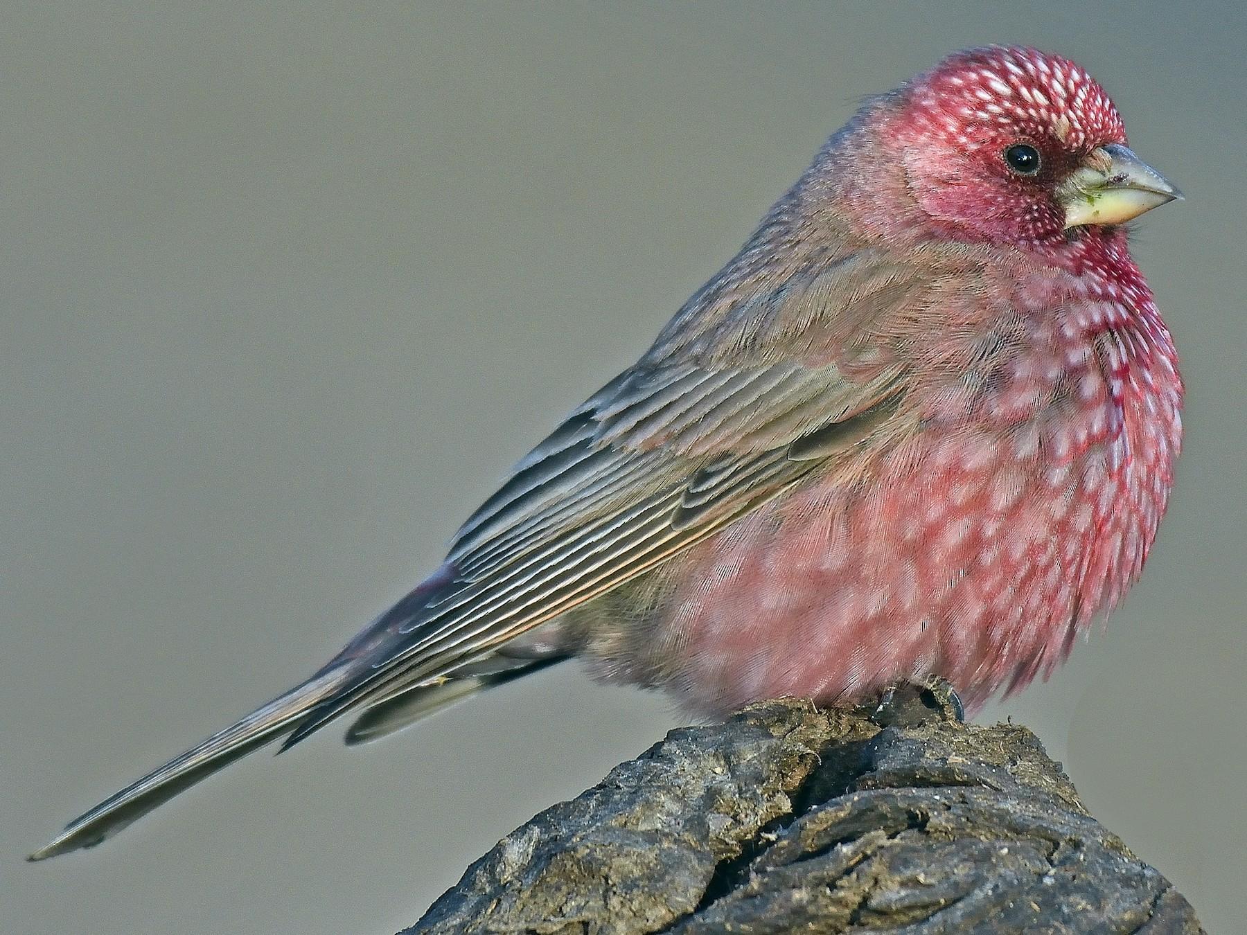 Great Rosefinch - Rajesh Panwar