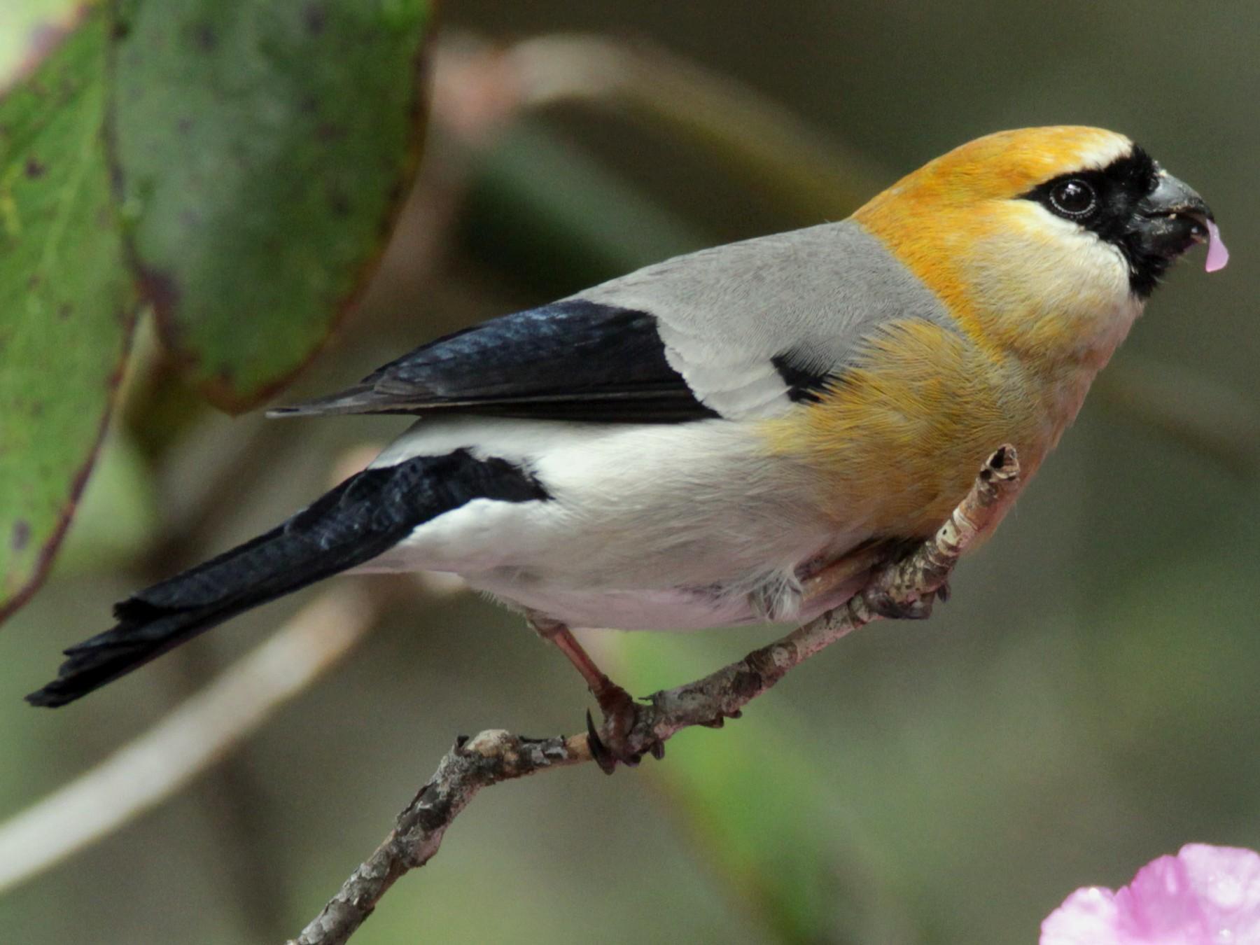 Red-headed Bullfinch - Praveen  Kumar